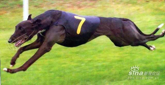 世界上奔跑速度最快之犬--澳洲格力犬