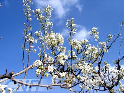 天遍野的梨树开花