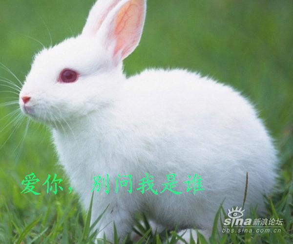 纹身兔子牙流血分享展示