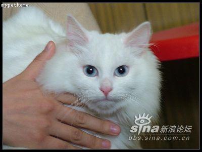 [转帖]上海蓝眼长毛白猫寻求领养