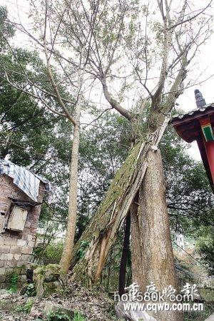 同村村民常做同一怪梦 疑百年古树作祟