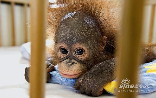 五一快乐~!猩猩等动物的可爱照片