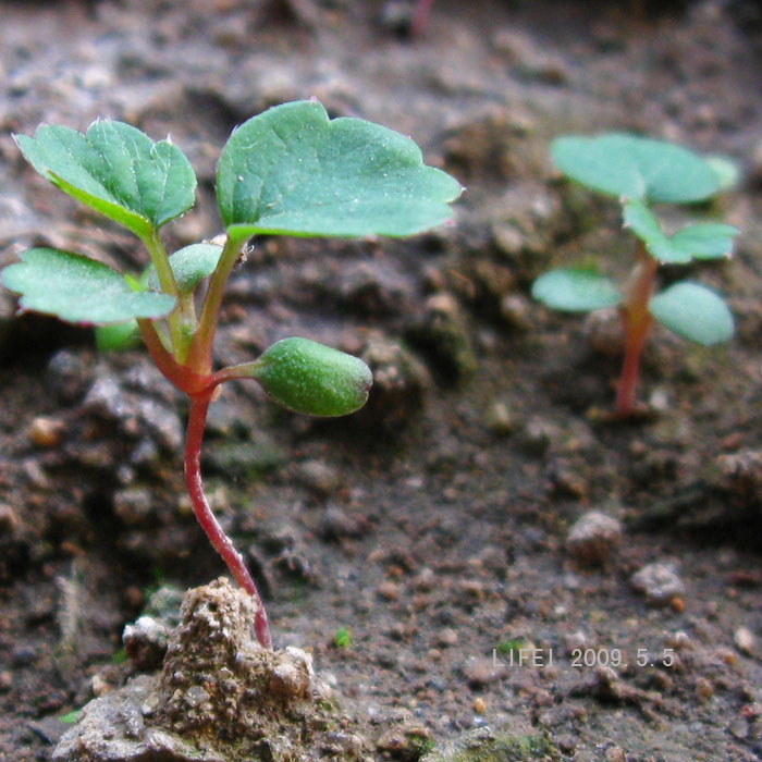 大概在一个月前,我把吃剩的草莓留了一个,把上面的种子一粒粒的弄下来,真的是挺麻烦的,弄下来后放在水里洗下,然后就放在纸巾上吸干种子上的水分。隔了几天后,种子就很干了,于是我就放了十几粒种子在装有泥土的塑料袋里,上面洒上一点点泥土把种子盖住,然后把整个塑料袋绑上密封起来(一天有时会打开看下,袋子上都有水蒸气的)。说真的,尽管刚开始我对这几粒种子是不抱希望的,但我还基本上是每天观察,好象过了十几天,我突然发现种子边上有点很小很小白色毛须,好高兴,这次应该能发芽成功了! 接下来,我来发张长了一个星期左右的草莓小