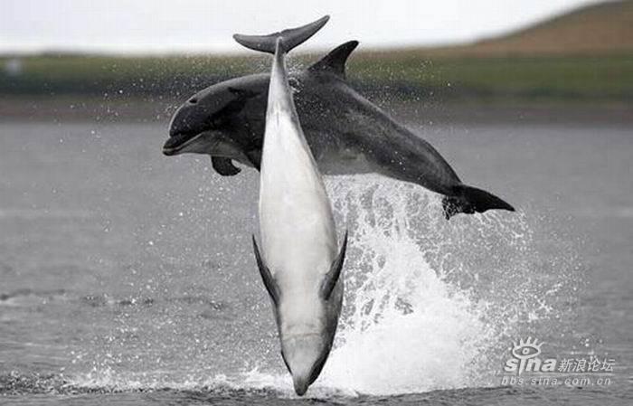 海豚跳水嬉戏精彩图片
